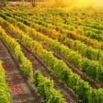Sunset over a vineyard — Stock Photo