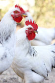 Rooster on the farm yard — Stock Photo