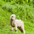 Lamb on meadow — Stock Photo