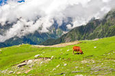 Wild red cow in Himalaya mountains — Стоковое фото