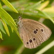 The gray butterfly — Stock Photo
