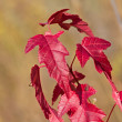 Branch of a maple with red leaves - Stock Photo