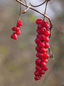 Brush of berries of taiga liana Schisandra chinensis — Stock Photo