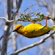 Stock Photo: Cape weaver