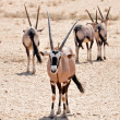 Stock Photo: Gemsbok Antelope (Oryx gazella)