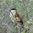 Stock Photo: Burchell's Coucal