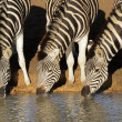 Stock Photo: Plains zebras drinking