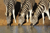 Plains zebras drinking — Stock Photo