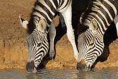 Pláně zebry pití — Stock fotografie