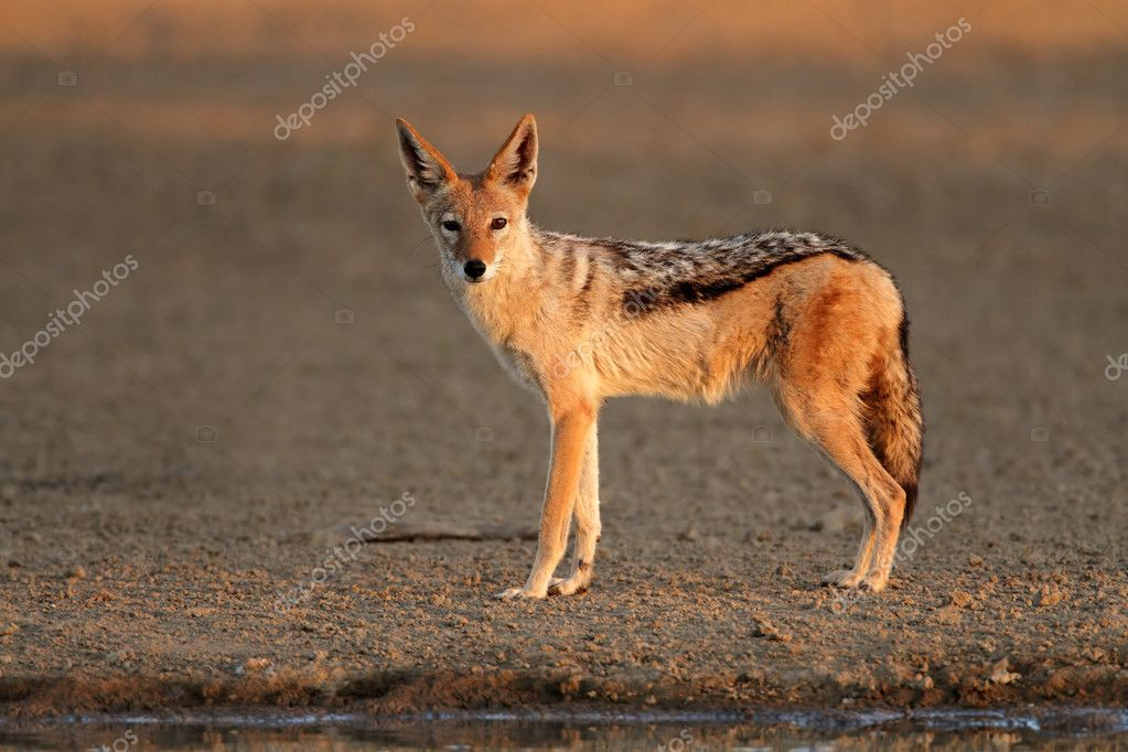 Black-backed Jackal (Canis mesomelas) in early morning light, Kalahari desert, South Africa  Stock Photo #6930462