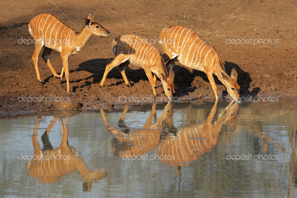 Female Nyala antelopes (Tragelaphus angasii) drinking water, Mkuze game reserve, South Africa — Stock Photo #6930469