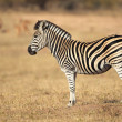 Plains Zebra — Stock Photo #7223343