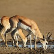 Springbok antelopes drinking — Stock Photo