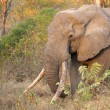African elephant tusker - Stock Photo
