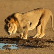 Stock Photo: Africlion drinking