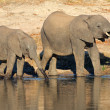 African elephants at waterhole — Stock Photo #7587185