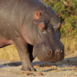 Hippopotamus — Stock Photo #7803734