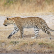 Leopard walking — Stock Photo
