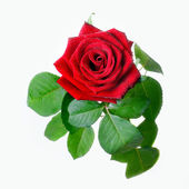 Red rose with leaves isolated on white — Stok fotoğraf