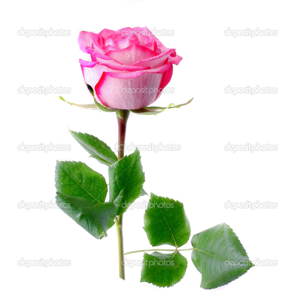 One Pink Rose | www.pixshark.com - 77.8KB