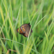 Brow butterfly in grass — Stock Photo