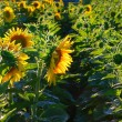 Sunflower field — Stock Photo #7945891