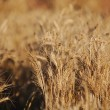 Stock Photo: Wheat field