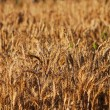 Field of wheat — Stock Photo #7945962
