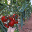 Fresh tomato in greenhouse — Stock Photo