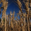 Field of wheat — Stock Photo #7946050