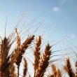 Field of wheat — Stock Photo #7946059