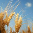 Field of wheat — Stock Photo
