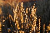 Beautiful wheat outdoor — Stock Photo
