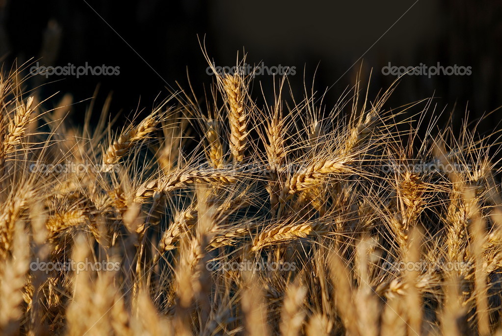 Wheat field — Stock Photo #7945939