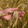 Ears of ripe wheat in hand - Stockfoto