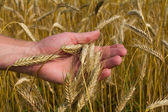 Ears of ripe wheat in hand — Stock fotografie