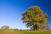 Lonely oak tree in autumn — Stock Photo