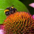 Bumblebee pollinating flower — Stock Photo