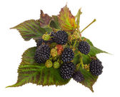 Blackberry branches on leaves — Stockfoto