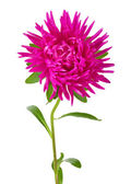 Pink aster flower — Stock Photo