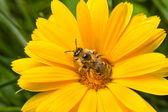 Trzmiel na żółty kwiat — Zdjęcie stockowe