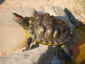 Tortoise sitting on stones — Stock Photo