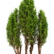 Stock Photo: Close-up cypress trees