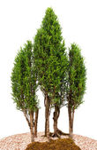 Close-up cypress trees — Stock Photo
