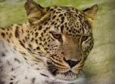 Close-up leopard — Stock Photo