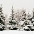 Fir tree in snow — Stock Photo
