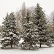 Fir trees in snow — Stock Photo