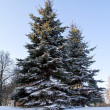 Foto Stock: Fir tree covered with snow