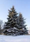 Abeto cubierto de nieve — Foto de Stock