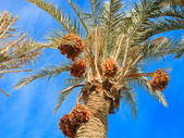 Dates on the palm — Stock Photo